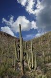 Saguarokaktus Royaltyfri Foto