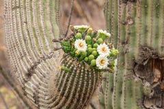 Saguarokaktus i blom Arkivfoton