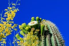Saguarokaktus i blom, Arizona Fotografering för Bildbyråer
