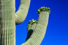 Saguarokaktus i blom, Arizona Arkivfoton
