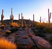 Saguarokaktus i granitträdgård Arkivbild