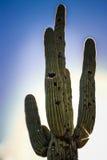 Saguarokaktus under solnedgång Arkivfoton
