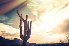 Saguarokaktusträd - Camelbackberg, Phoenix, AZ Arkivbilder