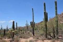 Saguaronationalpark, Arizona, USA Arkivfoto