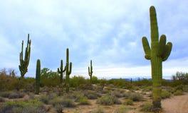 Saguaros Аризоны Стоковое фото RF