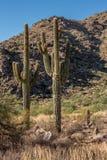 2 Saguaros встают на сторону - мимо - встают на сторону в пустыне в Аризоне Стоковая Фотография