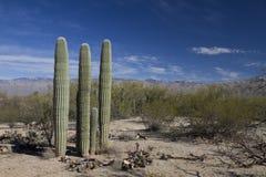 Saguaro в ландшафте Стоковая Фотография RF