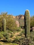 Saguaros и гранит Стоковая Фотография