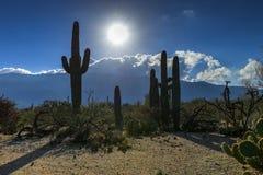 Saguaros на национальном парке saguaro Стоковое фото RF
