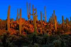 Saguaros на сумраке, национальный парк saguaro Стоковая Фотография RF