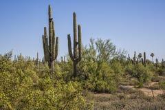 Saguaros пустыни Стоковая Фотография