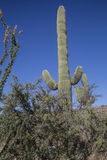 Saguaros пустыни, Scottsdale Стоковые Изображения