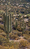 Saguaros Stock Afbeeldingen