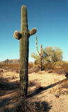 Saguaros Stock Photos