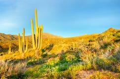 Saguaros Стоковое Изображение RF