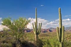 saguaros стоковые фотографии rf