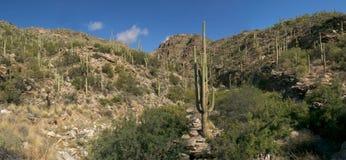 saguaros Стоковое Фото