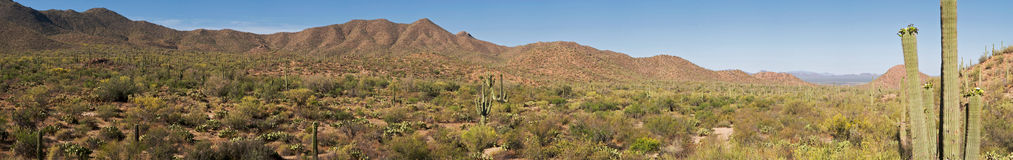 Saguaros royalty free stock photography