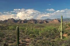 saguaros Royaltyfri Bild