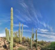 Saguaros Stock Images