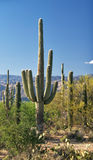 Saguaros Royalty Free Stock Photos