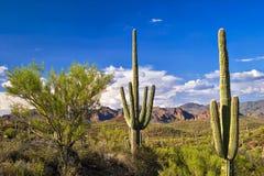 saguaros Стоковая Фотография