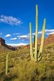 saguaros Стоковые Изображения RF