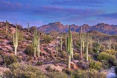 saguaros Стоковые Изображения