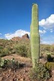 saguaros Стоковое Изображение