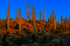 Saguaros bij schemer, saguaro nationaal park royalty-vrije stock fotografie