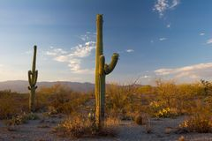 Saguaros bij Zonsondergang Royalty-vrije Stock Foto