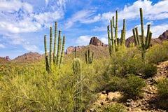 Saguaros. Blooming Saguaro Cactus in Sonoran Desert stock images