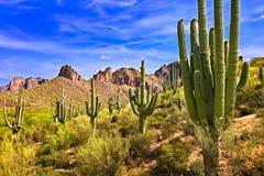 Saguaros. Blooming Saguaros in Sonoran Desert, Arizona royalty free stock photos