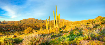 Saguaros. Catching days first sunrays stock image