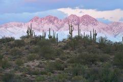 Saguaros con quattro picchi in Alpenglow Fotografie Stock Libere da Diritti