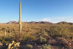 Saguaros e outros cactos do parque nacional de Saguaro, o Arizona imagem de stock