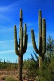Saguaros en Arizona Etats-Unis Image libre de droits