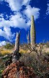Saguaros en parque nacional del Saguaro Imágenes de archivo libres de regalías