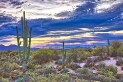 Saguaros. In Four Peaks wilderness, near Phoenix stock images