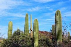 Saguaros géants, parc national de Saguaro Photo stock