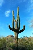 Saguaros géants, parc national de Saguaro Photographie stock libre de droits