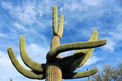 Saguaros géants, parc national de Saguaro Image stock