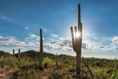 Saguaros gigantes no Arizona Foto de Stock