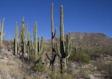 Saguaros i kanjonerna av sydvästliga Arizona deserterar Arkivbild