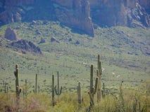 Saguaros am niedrigen Lager stockbild