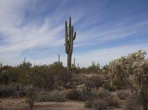 Saguaros och kaktus av den sydvästliga Arizona öknen Arkivbilder