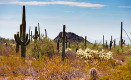 Saguaros in the Organ Pipe Cactus Royalty Free Stock Photos