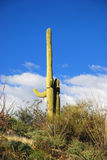 saguaros saguaro национального парка Стоковые Фото