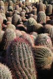 Saguaros. Saguaro cactus in the Sonoran desert in Arizona at sunrise royalty free stock photos