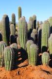 Saguaros. Saguaro cactus in the Sonoran desert in Arizona at sunrise stock images